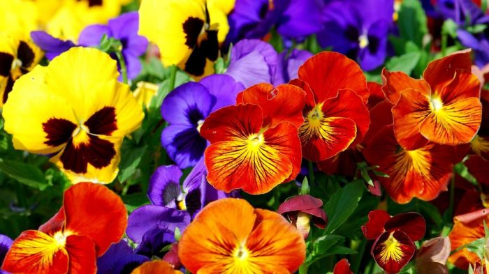pansies-wallpaper-20