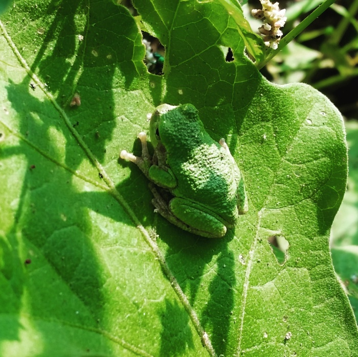 eggplant frog